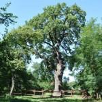2015-ben az év fája a kocsányos tölgy