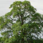 2016-ban az év fája a mezei szil