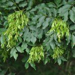 2018-ban az év fája a Virágos kőris